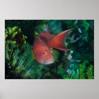 Plan rapproché de la truite de corail poster