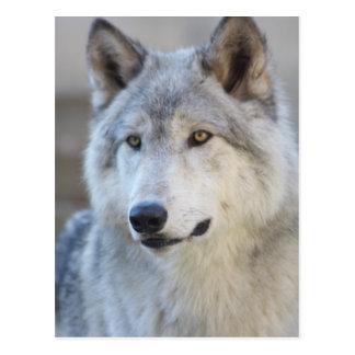 Plan rapproché de loup gris carte postale