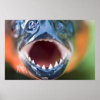 Plan rapproché de piranha, Iquitos, Maynas, Pérou Affiches