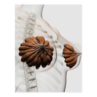 Plan rapproché des glandes mammaires femelles carte postale