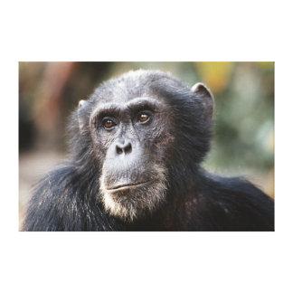 Plan rapproché du chimpanzé masculin toiles