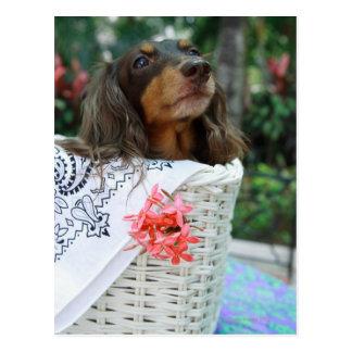 Plan rapproché d'un chien de teckel se reposant cartes postales