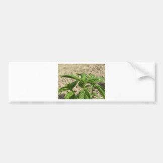 Plante frais simple de basilic dans le terrain autocollant pour voiture