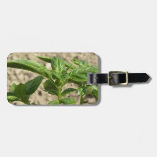 Plante frais simple de basilic dans le terrain étiquette à bagage