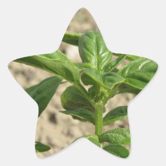 Plante frais simple de basilic dans le terrain sticker étoile