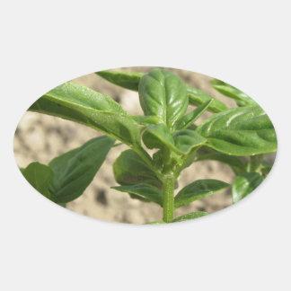 Plante frais simple de basilic dans le terrain sticker ovale