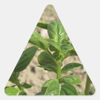 Plante frais simple de basilic dans le terrain sticker triangulaire