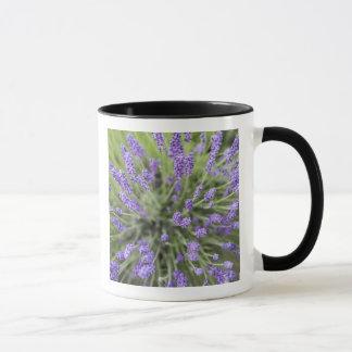 Plantes de lavande tasses