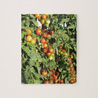 Plantes de tomate s'élevant dans le jardin puzzle