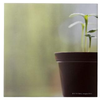 Plantes de tournesol poussant dans le pot grand carreau carré