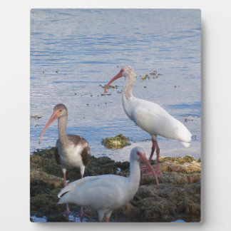 Plaque Photo 3 IBIS sur le rivage de la baie de la Floride