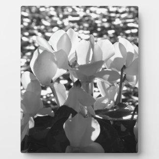 Plaque Photo Fleurs blanches de cyclamen de Backlits sur