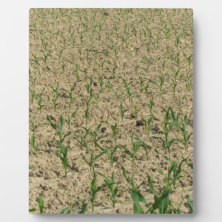 Plaque Photo Gisement de maïs de maïs vert à la partie
