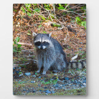 Plaque Photo Raton laveur à l'état du parc WA de défi de point