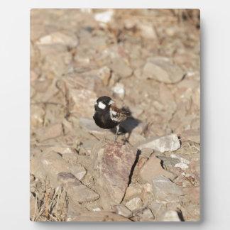 Plaque Photo Sparrowlark soutenu par châtaigne (leucotis