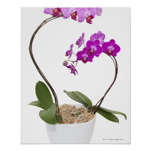 Pleine orchidée de cadre d'isolement sur un arrièr posters