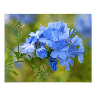 Plumbago - l'été bleu fleurit l'image  tirage photo