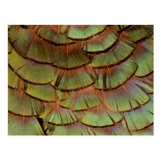 Plume de faisan éventée par vert carte postale