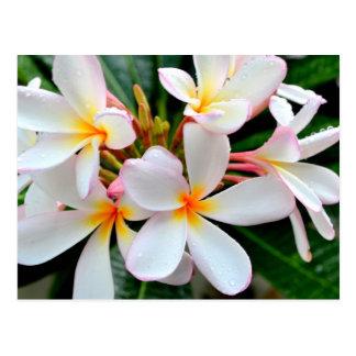 Plumeria blanc cartes postales