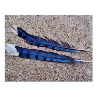 Plumes d'oiseau de geai bleu carte postale
