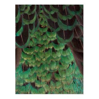 Plumes vertes de faisan de Melanistic Carte Postale