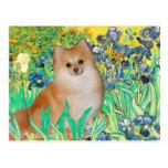Pomeranian 3 - Iris Carte Postale