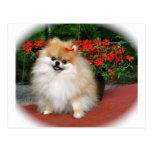 Pomeranian Cartes Postales