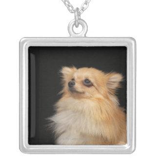 Pomeranian recherchant sur le noir collier