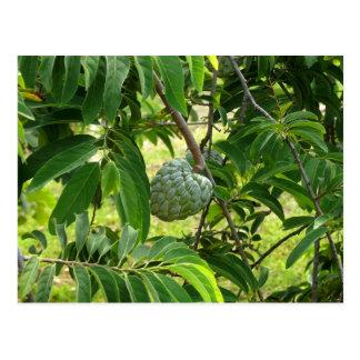 Pomme Cannelle - Martinique, FWI Carte Postale
