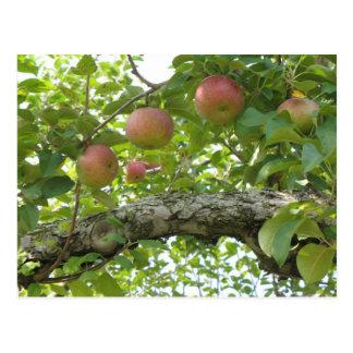 Pommes accrochant sur l'arbre carte postale