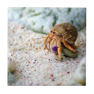Poncez le crabe, Curaçao, îles des Caraïbes, photo Petit Carreau Carré