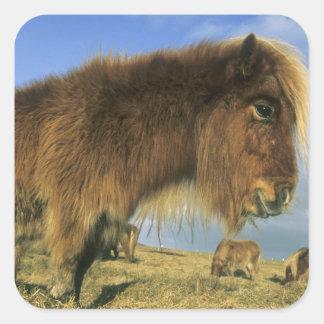 Poney de Shetland, Îles Shetland de continent, 2 Autocollant Carré