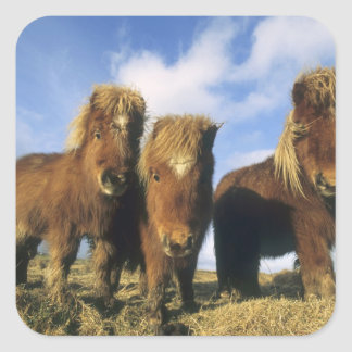 Poney de Shetland, Îles Shetland de continent, Autocollant Carré