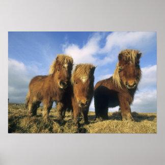 Poney de Shetland, Îles Shetland de continent, Posters