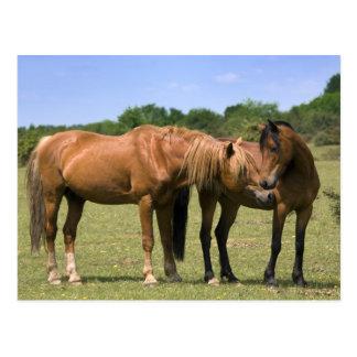 Poneys en carte postale d'amour