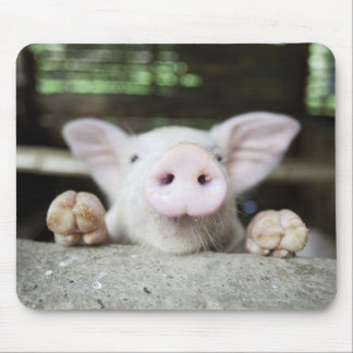 Porc de bébé dans le stylo, porcelet tapis de souris
