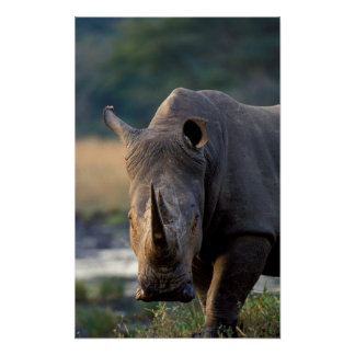 Portrait blanc de rhinocéros (Ceratotherium Simum) Poster