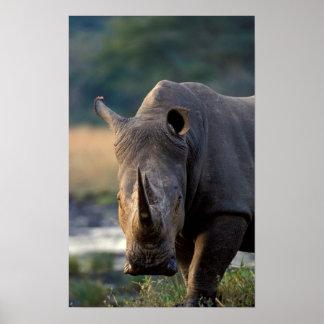 Portrait blanc de rhinocéros (Ceratotherium Simum) Posters