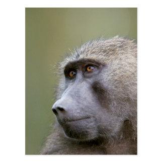 Portrait de babouin olive adulte (anubis de Papio) Cartes Postales