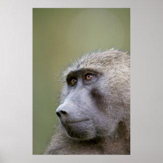 Portrait de babouin olive adulte (anubis de Papio)