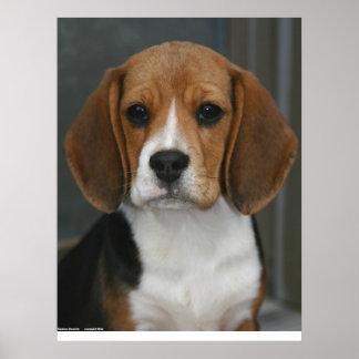 Portrait de beagle poster