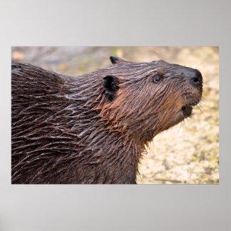 Portrait de castor nord-américain