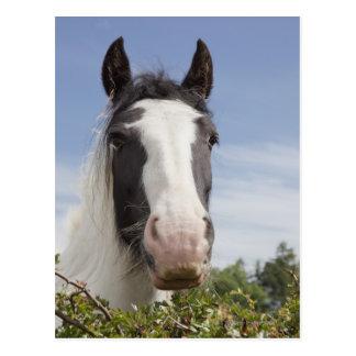 Portrait de cheval de Clydesdale Carte Postale