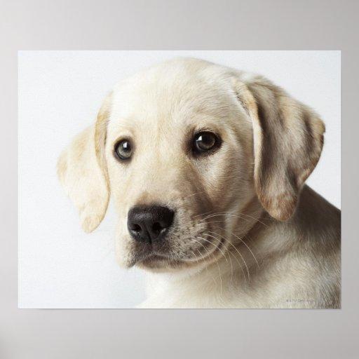 Portrait de chiot blond de labrador retriever affiche