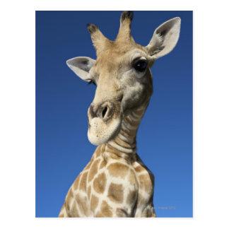 Portrait de girafe (Giraffa Camelopardalis) Carte Postale