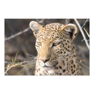 Portrait de léopard  tirage photo