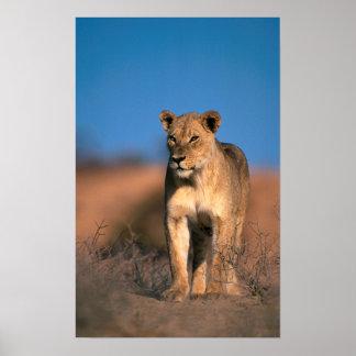 Portrait de lionne (Panthera Lion) Poster