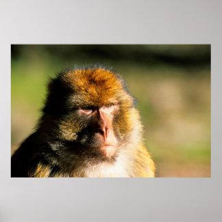 Portrait de Macaque de Barbarie (Macaca Sylvanus) Posters