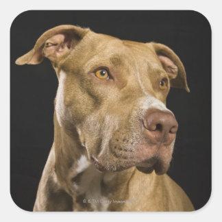 Portrait de pitbull rouge de nez avec le noir sticker carré
