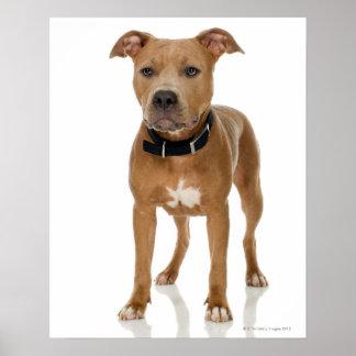 Portrait de studio de chiot américain de pitbull poster